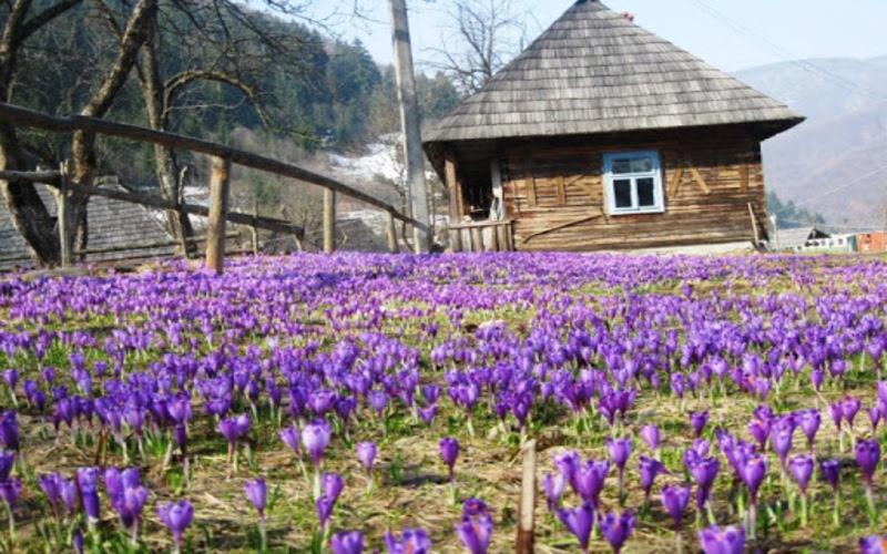 zakarpatskie-naslazhdeniya-dolina-krokusov